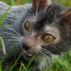 Выведена порода кошек-оборотней