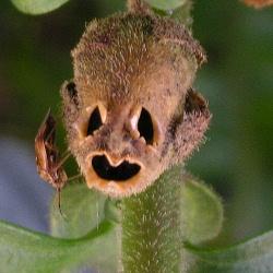10 жутких грибов и растений, похожих на человеческие части тела