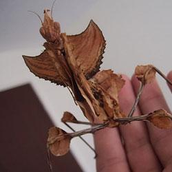Листовидка яванская – растение или насекомое?    Насекомые похожие на листья