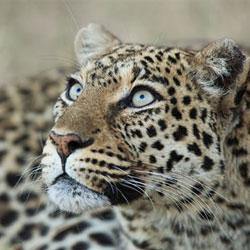 ДАЛЬНЕВОСТОЧНЫЙ ЛЕОПАРД, ОПИСАНИЕ, СРЕДА ОБИТАНИЯ И ОБРАЗ ЖИЗНИ, ЧЕМ ПИТАЕТСЯ, ИНТЕРЕСНЫЕ ФАКТЫ, ФОТО, ВИДЕО — Портал о домашних животных || Как охотятся леопарды в природе