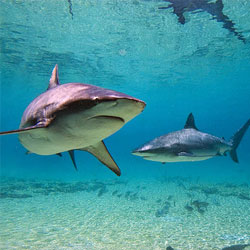 Акулы пресных водоемов: стоит ли их бояться?