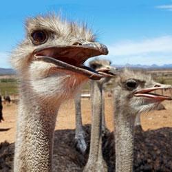 Африканский страус. Образ жизни и среда обитания африканского страуса