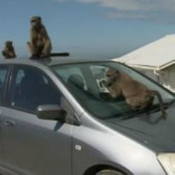 Когда бабуины нападают на человека