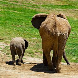 Беременность слона