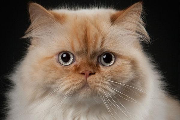 Самые популярные породы кошек в мире и в России: список с фото и названиями