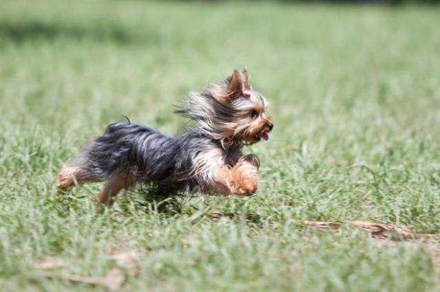 Йоркширский терьер – фото собаки, описание характера йорка и характеристика породы