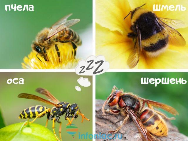 различия пчела оса
