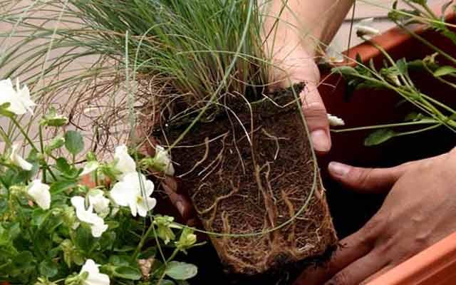 какие комнатные цветы можно пересаживать осенью стишки