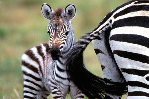 Секс зеьры в дикой природе