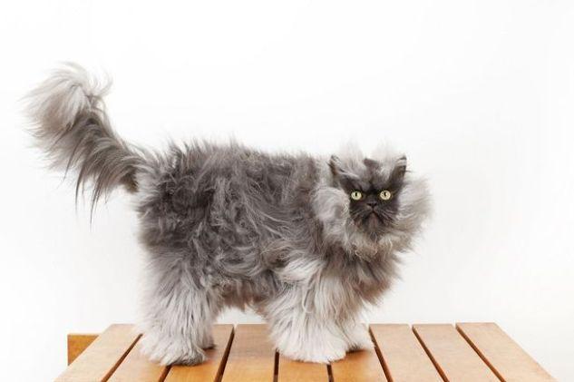 Порода кошек самая пушистая