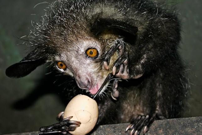 Ай-ай - это животное 92e183c511457