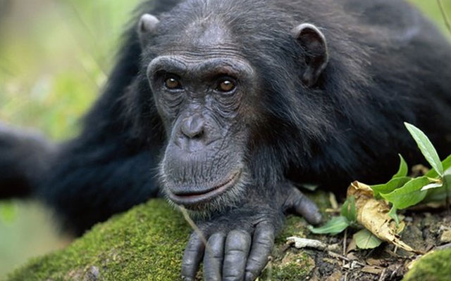 characteristics of chimpanzees
