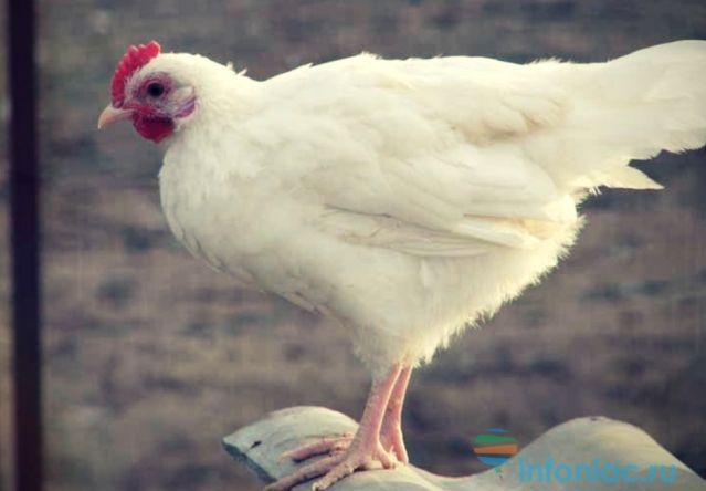 3 лучших способа очистить магазинную курицу от антибиотиков и токсинов