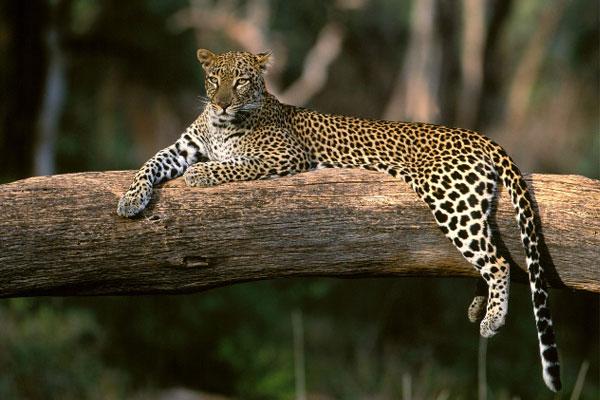 Дальневосточный леопард (Panthera pardus orientalis): фото, интересные факты