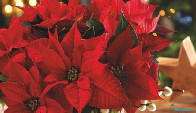 Как ухаживать за цветком Рождественская звезда (Пуансеттия)