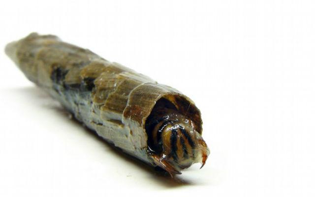 личинки ручейник фото