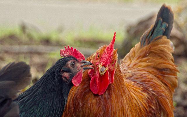 Фото гребешка курицы