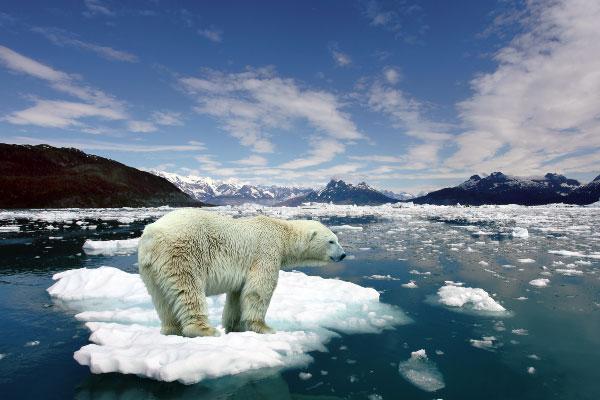 Белые медведи: чем питаются, где обитают
