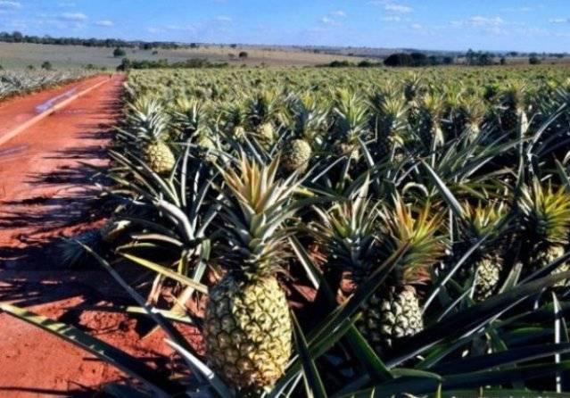 Почему ананас называется ананасом