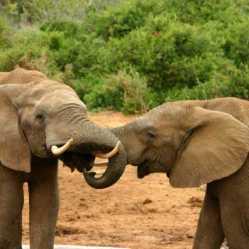 Какие виды слонов существуют