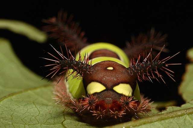 Картинки по запросу Седлистая гусеница