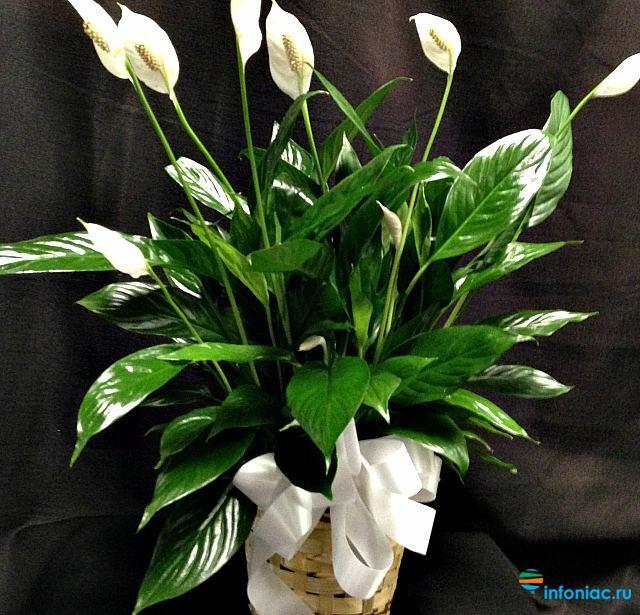 Мужское и женское счастье цветы уход