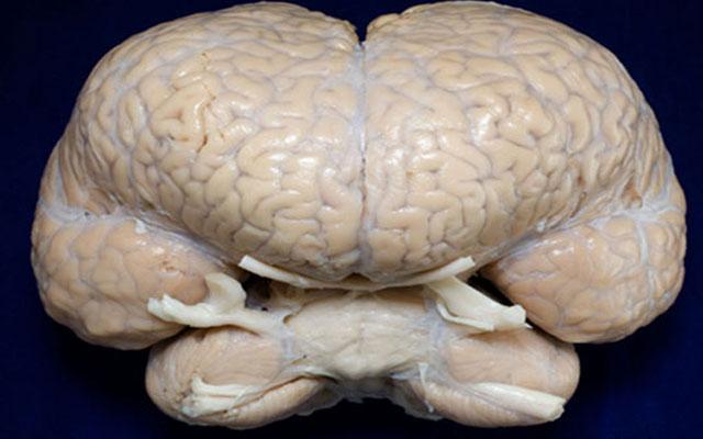 у кого самый большой мозг