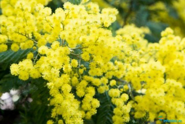 Как дольше сохранить цветы: мимоза