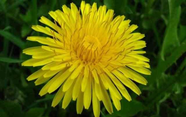 Жирная трава сорняк