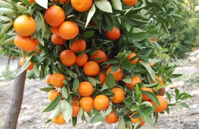 Гибрид мандарина и апельсина название виды