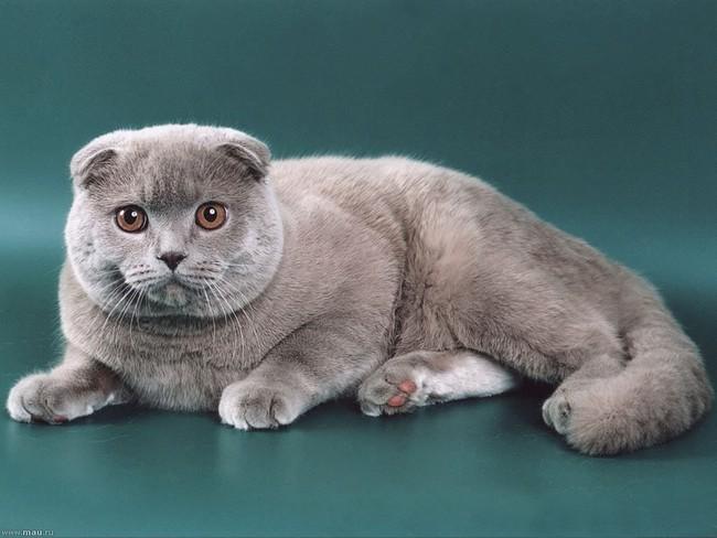 Кошки элитных пород