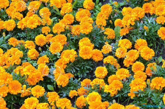 Тагетес Патула - Бархатцы отклоненные: как ухаживать за цветком