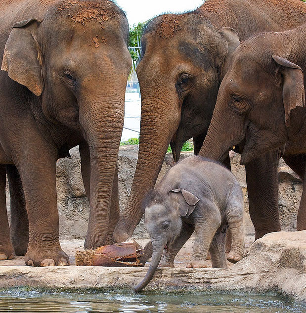 Сколько слоны носят беременность