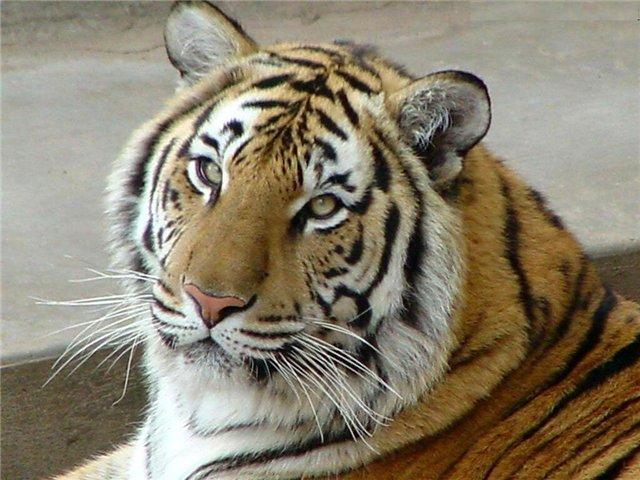 рожденные под знаком скорпиона тигра