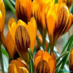 Крокус (Шафран): как правильно ухаживать за цветком в домашних условиях