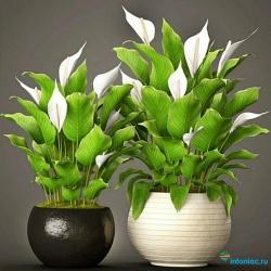 Как ухаживать за цветком Женское счастье (Спатифиллум)