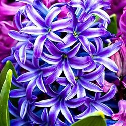 Гиацинт: как ухаживать за цветком в домашних условиях
