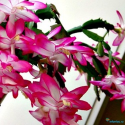 Как ухаживать за цветком Декабрист (Шлюмбергера) в домашних условиях