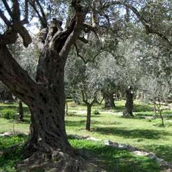 Чудеса иерусалимского сада: 900-летние оливковые деревья