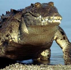 Крокодил в 168 раз опаснее акулы