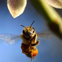 Пчелы могут подсказать, как предупредить слабоумие
