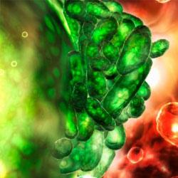 Бактерии толстого кишечника влияют на вес