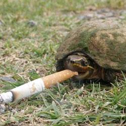 В Китае живет первая курящая черепаха