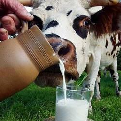 Самые большие любители молока живут в Индии и Европе