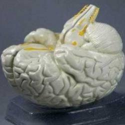 Как наука изучает мозг
