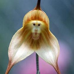 Самая необычная орхидея с обезьяньей мордочкой
