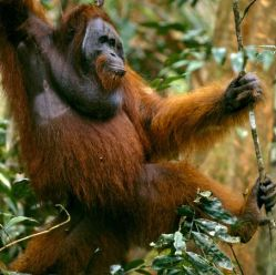 Счастье - ключ к долгой жизни не только людей, но и орангутангов
