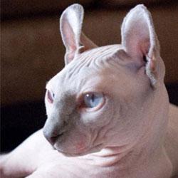 Топ 10 редчайших пород кошек