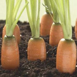 Секреты морковки