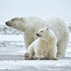 Белый медведь может не выжить в новой среде обитания